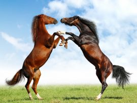 Papel de parede Belos cavalos no campo