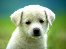 Papel de parede Cachorro Branco #2