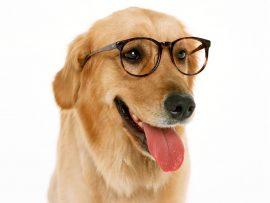 Papel de parede Cachorro de Óculos