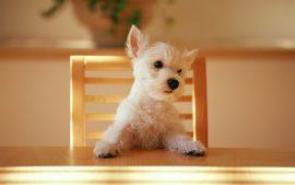Papel de parede Cachorro na Mesa