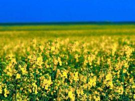 Papel de parede Campo de flores Amarelas