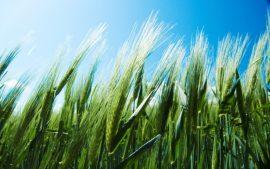 Papel de parede Campo de trigo