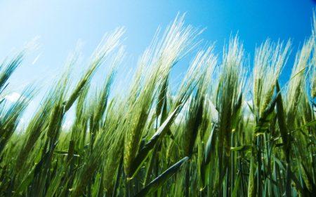 Papel de parede Campo de trigo para download gratuito. Use no computador pc, mac, macbook, celular, smartphone, iPhone, onde quiser!