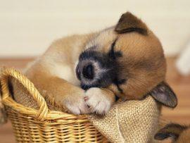 Papel de parede Cão dormindo