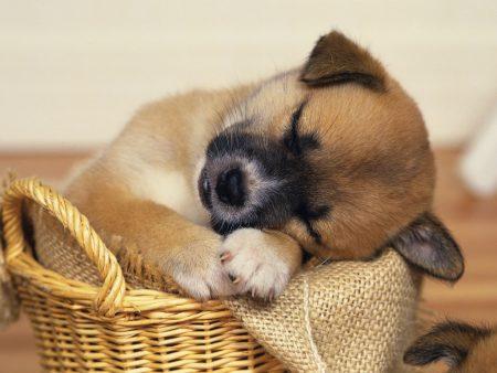 Papel de parede Cão dormindo para download gratuito. Use no computador pc, mac, macbook, celular, smartphone, iPhone, onde quiser!