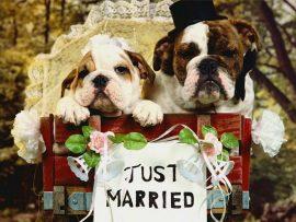 Papel de parede Casamento de Cães