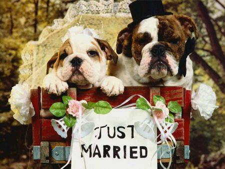 Papel de parede Casamento de Cães para download gratuito. Use no computador pc, mac, macbook, celular, smartphone, iPhone, onde quiser!