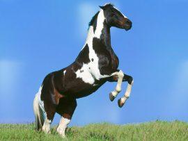 Papel de parede Cavalo Malhado