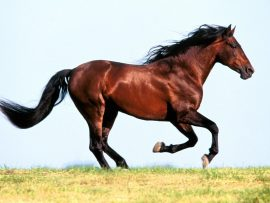 Papel de parede Cavalo no campo