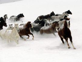Papel de parede Cavalos selvagens na neve