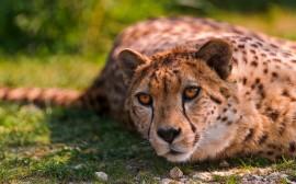 Papel de parede O Olhar do Leopardo