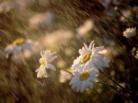 Papel de parede Chuva nas Flores