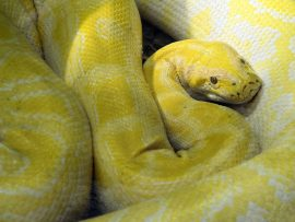 Papel de parede Cobra amarela