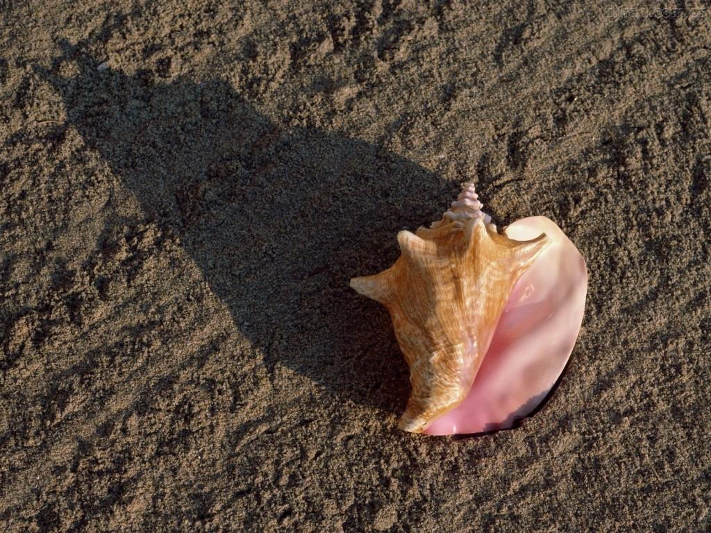 Papel de parede Concha na Areia para download gratuito. Use no computador pc, mac, macbook, celular, smartphone, iPhone, onde quiser!