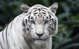 Papel de parede Tigre Branco em Destaque na Floresta