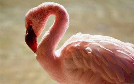 Papel de parede Flamingo para download gratuito. Use no computador pc, mac, macbook, celular, smartphone, iPhone, onde quiser!