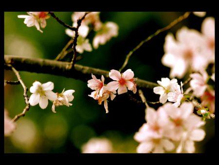 Papel de parede Flor de Cerejeira para download gratuito. Use no computador pc, mac, macbook, celular, smartphone, iPhone, onde quiser!