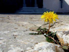 Papel de parede Flor entre as pedras