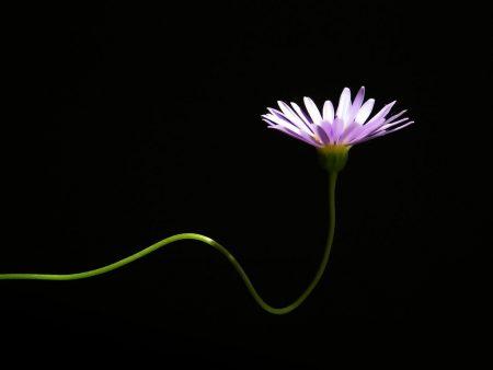 Papel de parede Flor Solitária para download gratuito. Use no computador pc, mac, macbook, celular, smartphone, iPhone, onde quiser!
