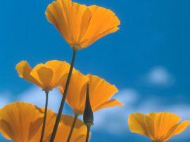 Papel de parede Flores Amarelas e o Céu
