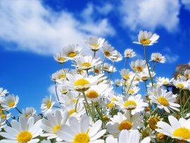 Papel de parede Flores Brancas na Primavera