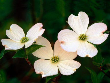 Papel de parede Flores Brancas para download gratuito. Use no computador pc, mac, macbook, celular, smartphone, iPhone, onde quiser!