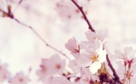 Papel de parede Flores de Cerejeira