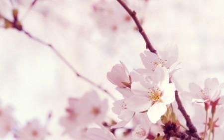 Papel de parede Flores de Cerejeira para download gratuito. Use no computador pc, mac, macbook, celular, smartphone, iPhone, onde quiser!