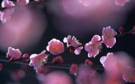 Papel de parede Flores Rosa de Cerejeira
