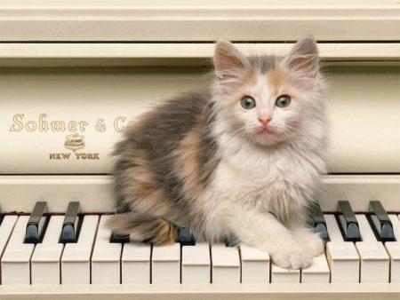 Papel de parede Gato no piano para download gratuito. Use no computador pc, mac, macbook, celular, smartphone, iPhone, onde quiser!