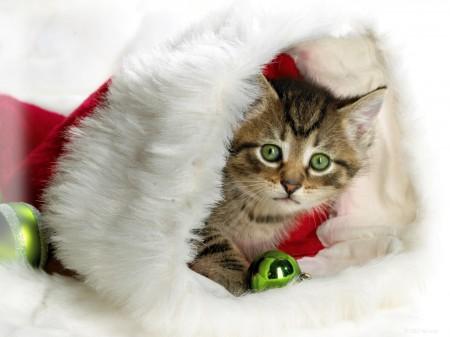 Papel de parede Gato no Gorro de Natal para download gratuito. Use no computador pc, mac, macbook, celular, smartphone, iPhone, onde quiser!