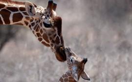 Papel de parede Girafa e Filhote