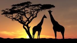 Papel de parede Girafas ao Pôr-do-Sol