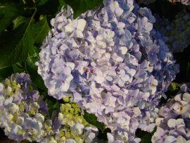 Papel de parede Hortênsia – Lilás
