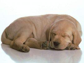 Papel de parede Labrador dorminhoco