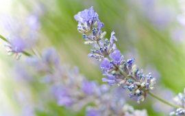 Papel de parede Lavanda – Flor
