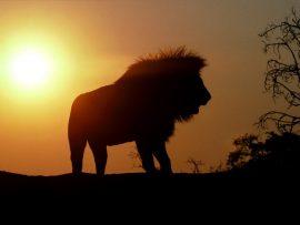 Papel de parede Leão ao amanhecer