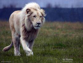 Papel de parede Leão branco