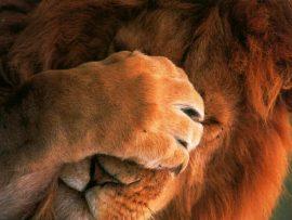 Papel de parede Leão tímido