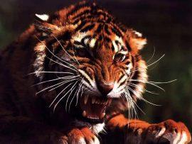 Papel de parede Leopardo
