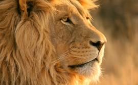 Papel de parede O Rei da Selva