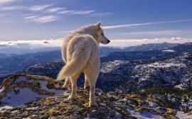 Papel de parede Lobo na Montanha