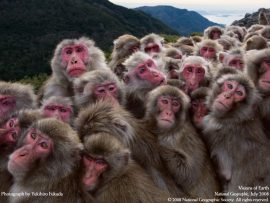 Papel de parede Macacos