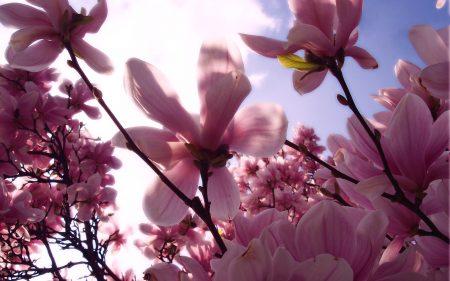 Papel de parede Magnolia para download gratuito. Use no computador pc, mac, macbook, celular, smartphone, iPhone, onde quiser!