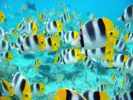 Papel de parede Muitos peixes