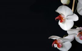 Papel de parede Orquídea – Bela