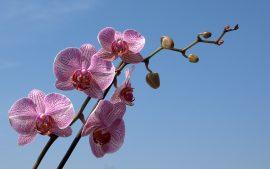 Papel de parede Orquídea – Céu Azul
