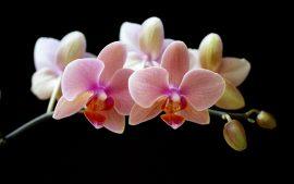 Papel de parede Orquídea – Flor