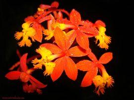 Papel de parede Orquídea – Laranja