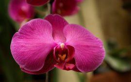 Papel de parede Orquídea – Rosa